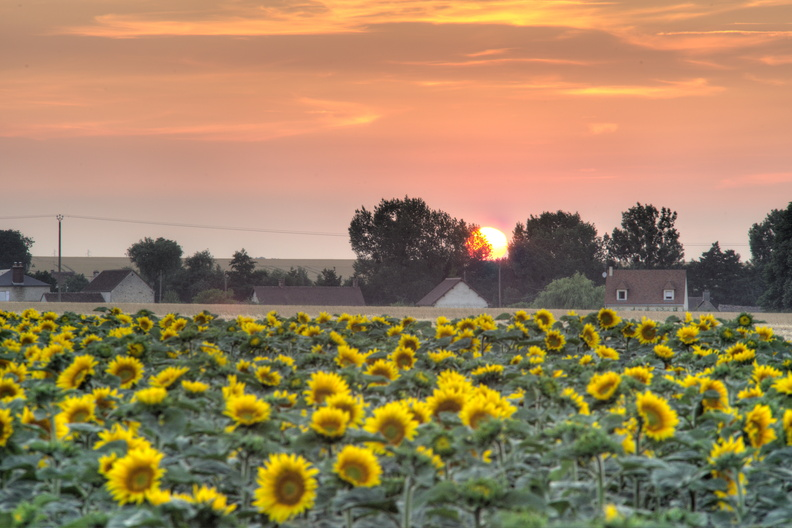 Sunflowers at sunset.jpg